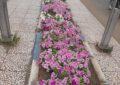کاشت گلهای فصلی در میادین و بلوارهای سطح شهر+تصاویر